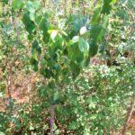 forêt fruitière