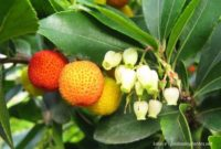 arbousier permaculture