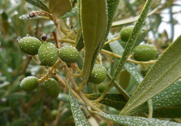 La pulvérisation d'argile en prévention pour les oliviers