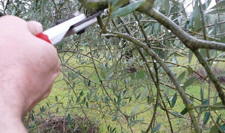 Quelques conseils pour la taille des oliviers