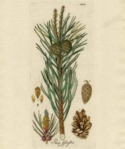 dessin d'une flore représentant le pin parasol, pinus pinea, qui produit les fameuses aiguilles de pins citée dans la présente étude
